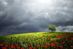 Tree in the meadow with poppies