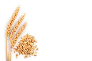 grain and ears of wheat isolated on