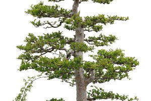 Elegant bonsai elm tree on white bg