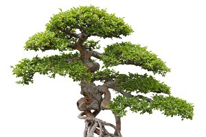Bonsai, green elm tree on white bg