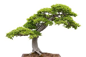 Green bonsai tree on white bg
