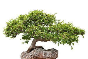 Green bonsai tree growing on a rock