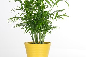 Beautiful plant in a yellow pot