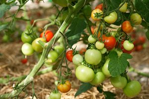 Bunches of ripening tomatoes