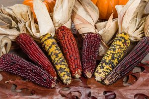 Colorful decorative Indian Corn