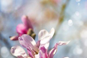 Magnolia blossom.