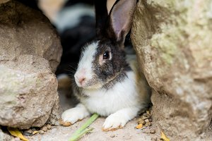 Rabbit close up