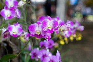 Orchids flower close up