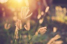 Grass flower close up with sunset