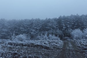 Road to snowy foggy tall pine forest