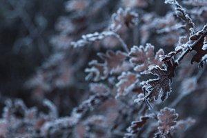 Frozen brown oak leaves closeup