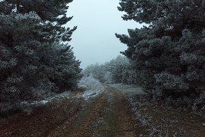 Road to the frozen misty pine forest
