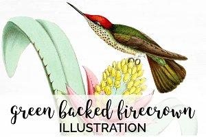Hummingbird Firecrown Vintage Birds