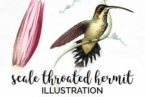 Hummingbird Scale-Throated Hermit