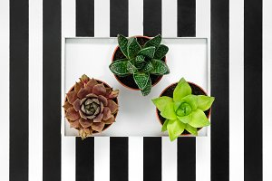 Succulent plants in a striped frame