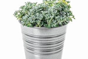 Sedum Spathulifolium plant in a pot