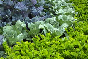 Vegetable garden with cabbage and ce