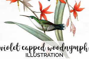 Hummingbird Violet-Capped Woodnymph