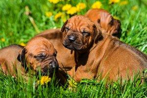 Three Rhodesian Ridgeback puppies