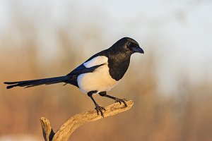 black and white bird sitting on a