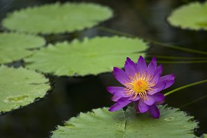 Purple water lily in a pond