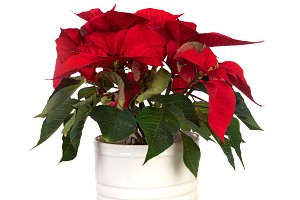 Beautiful plant for decorating in Ch