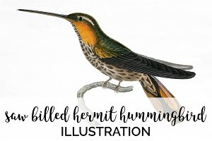 Hummingbird Saw-billed Hermit