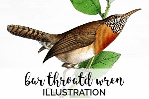 Wren Bar-throated Birds