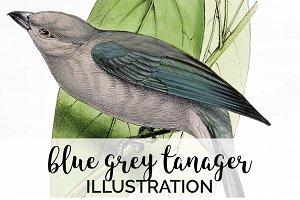 Tanager Blue-grey Bird Vintage