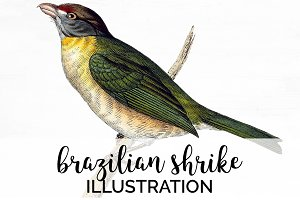 Shrike Brazilian Bird Watercolor