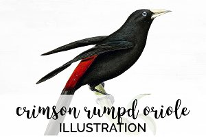 Oriole Crimson-rumped Birds Vintage
