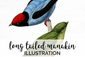 Birds Long-tailed Manakin Vintage