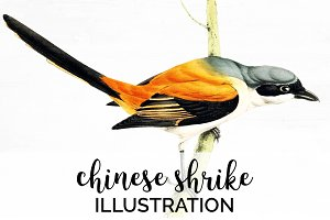 Shrike Chinese Watercolor Bird