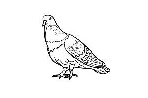 Drawing of pigeon