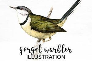 Warbler Gorget Vintage Watercolor