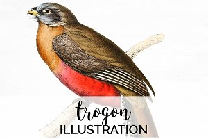 Trogon Vintage Watercolor Bird