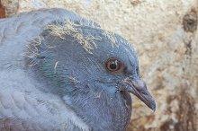 Close up pigeon on nest