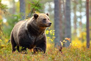Big brown bear in a colorful forest