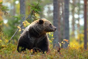 Big brown bear looking at side in a