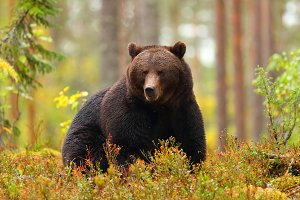 Big brown bear sitting in a forest i