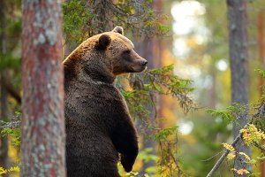 Big brown bear standing in a forest