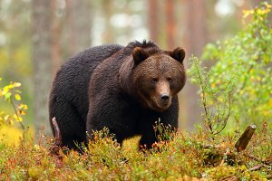 Big brown bear walking in a forest i