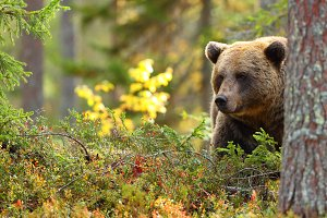Brown bear head in a forest