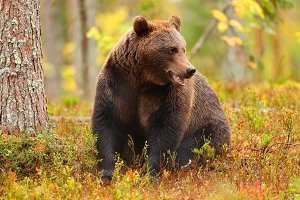 Brown bear sitting in a forest and l