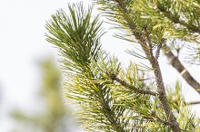 bird hanging from a pine