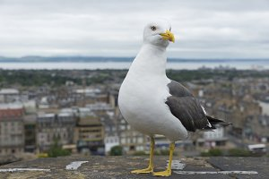 Seagull and Edinburgh city view