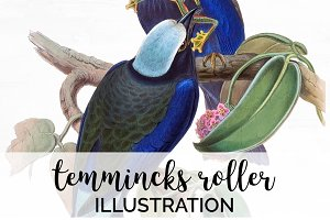 Bird Illustration Temmincks Roller