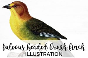 Finch Brush Vintage Watercolor Bird
