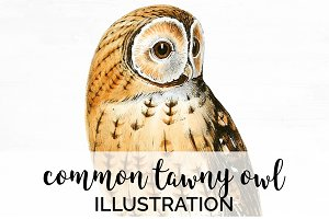 Owl Common Tawny Vintage Bird