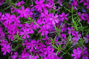 Pretty pink Purple  Flowers Blooming in a Garden